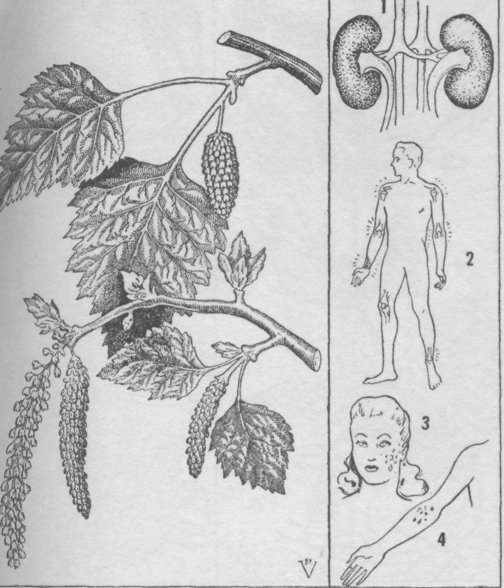 Plantas medicinales abedul betula alba verrucosa - Abedul blanco ...