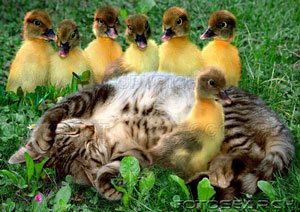[cat-domestic-cat-duck-chick-97884.jpg]