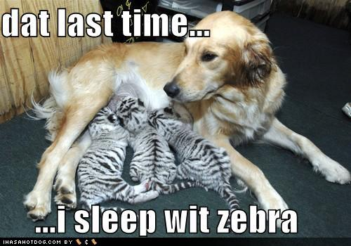Perils Zebra Love