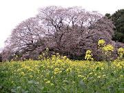 吉高の大桜. 曇ってしまいましたさっきまでは晴れていたんですけどね