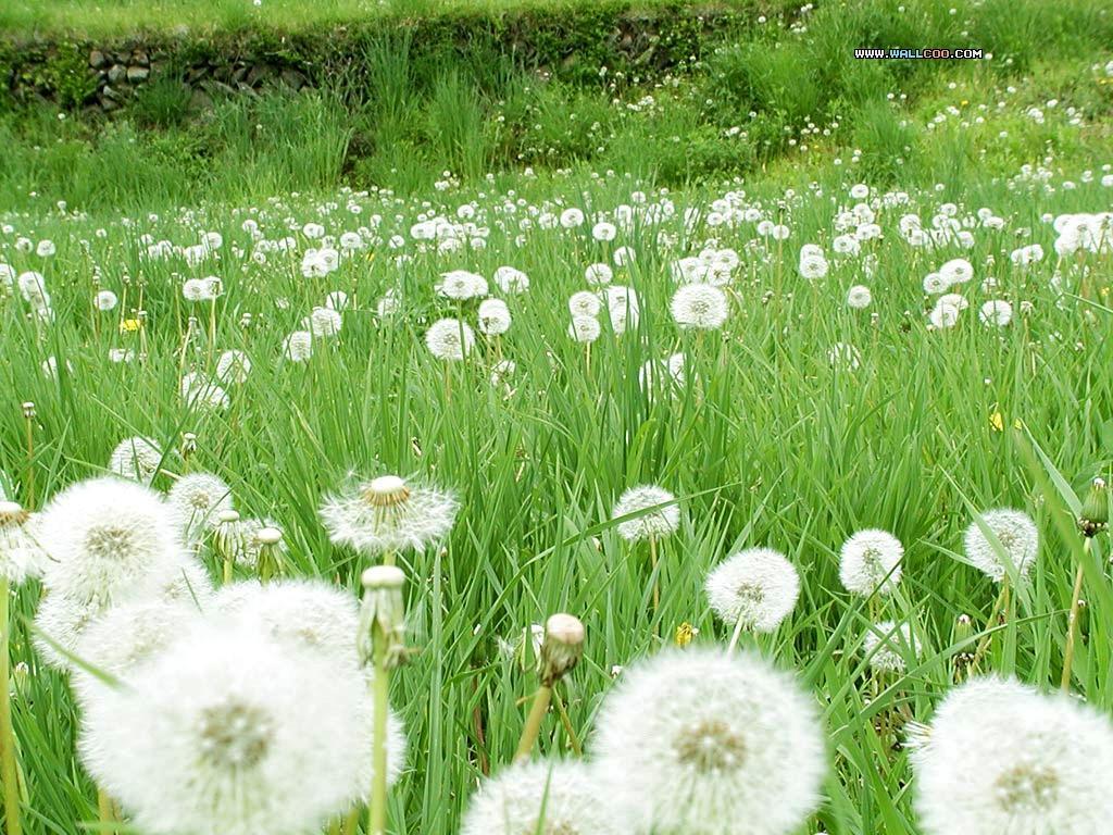 Hoa bồ công anh - loài hoa sau khi nở thì từng cánh sẽ
