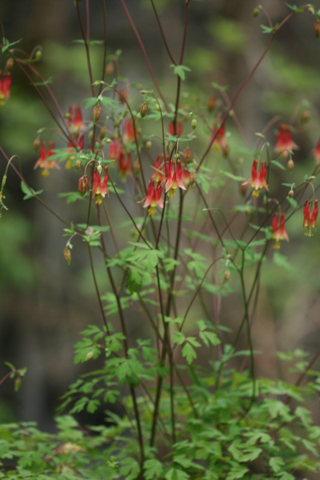 Native Florida Wildflowers Columbine Aquilegia Canadensis