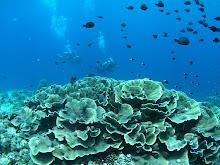 Hartkorallen auf dem Riffdach