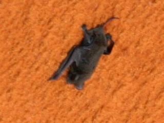 Le saviez-vous ? Space-bat, la chauve-souris qui voulait devenir astronaute Space-bat
