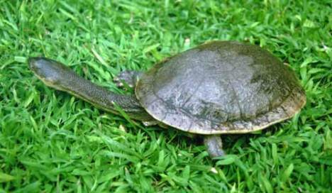 12 kura-kura terunik Chelodinamccordi