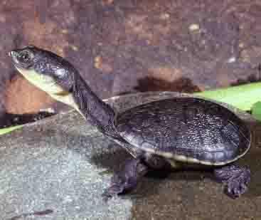12 kura-kura terunik Easternlongneckedturtle