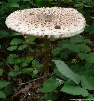Lépiote élevée, chapeau d'environ 30cm de diamètre