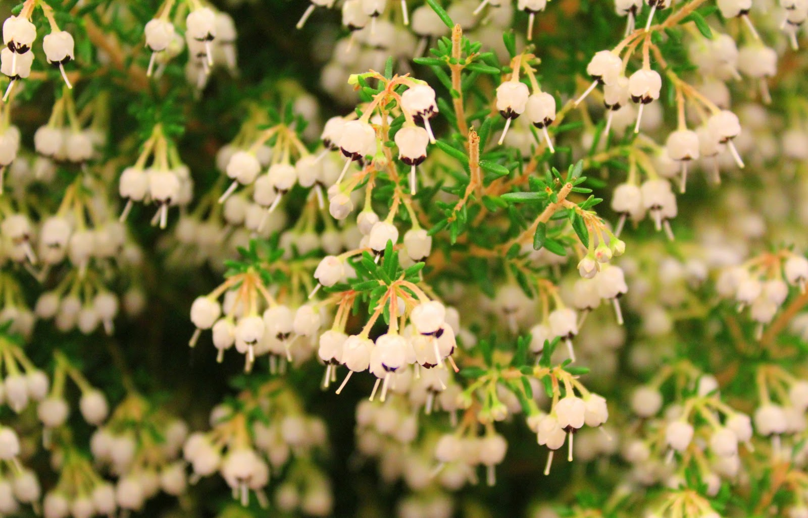 Between chicago and india day christmas bell heather