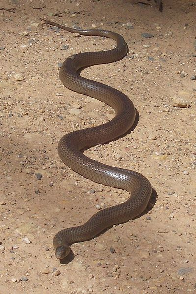 In australia 60 of all deaths caused by snake bites are from this