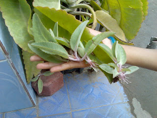 tunas cocor bebek di daun