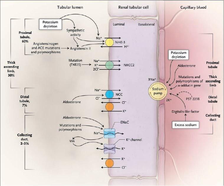 11-beta hidroxiesteroide deshidrogenasa tipo ii