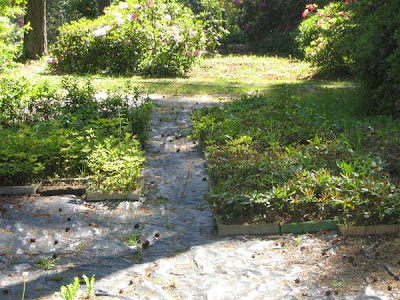 азалия рододендрон, выращивание рододендронов, рододедрон посадка, рододендрон цветок, уход