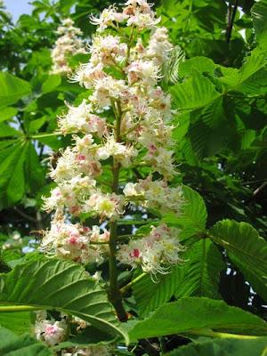 каштан конский, лекарственные растения, настойка каштана, каштан дерево, лечение каштаном