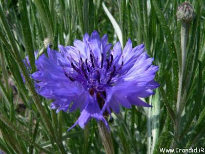 عکسهایی واقعا زیبا از گل ها Www.Irandid.iR