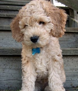 small_dogs_that_dont_shed_cockapoo.jpg