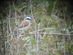 Red Backed Shrike (Winterton Dunes)