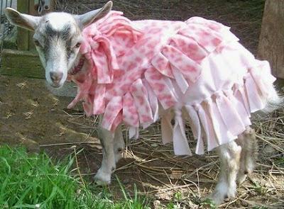 goat modeling pink frilly coat