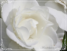 Vacker vit ros