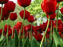 Rojas amapolas enamoradas de la brisa.... erguidas damas de amor...