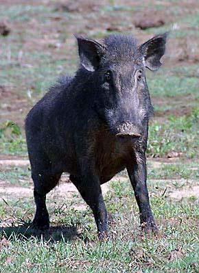 Wild Boar Attacks Human Feral Pig Attack