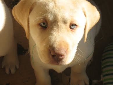 Scenic View Labrador Retriever PuppiesYellow Lab With Blue Eyes