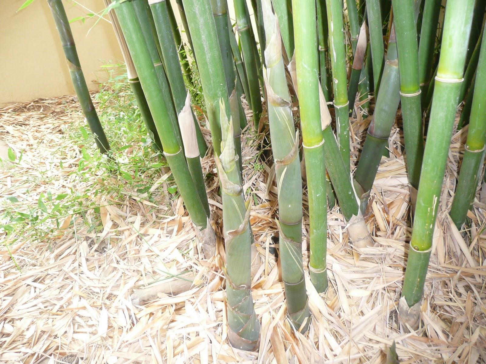 Bamb en el mundo bamb corredor y bamb cespitoso - Tipos de bambu ...