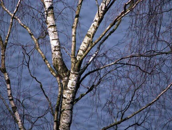 tidspunkt for beskæring af træer