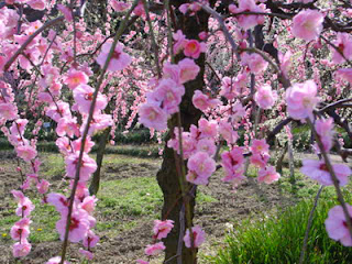 Plum Blossom, Nagoya Agricultural Center