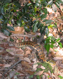Snake in the forest of Ome, Tokyo.