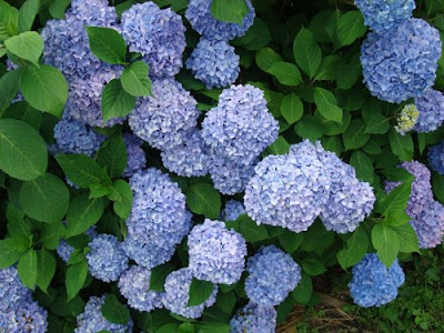 Hydrangea - Ajisai
