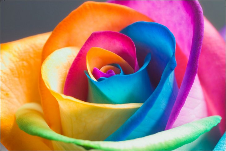 natural rainbow roses all colors in one rose