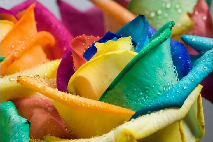 natural: Rainbow Roses: All Colors in One Rose