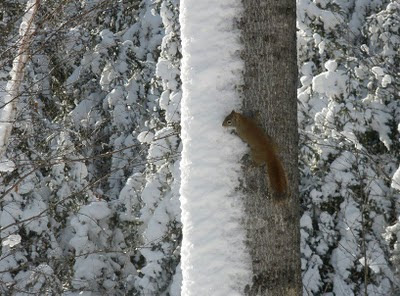 red squirrel in Northern Ontario