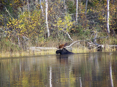 Bull moose on Red Lake, Ontario