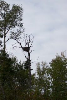 eagle nest, Red Lake, Ontario
