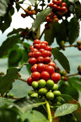櫻桃般鮮紅欲滴的咖啡生豆