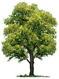 l'albero di Donna