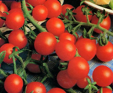40 graines seeds de tomate cerise 39 sweet 100 39 ebay. Black Bedroom Furniture Sets. Home Design Ideas