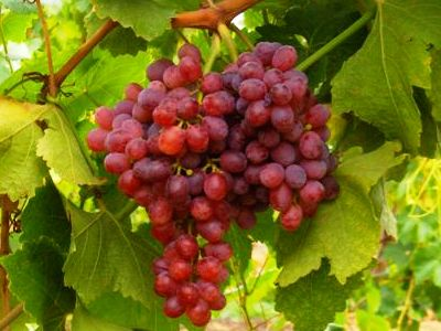 The produce blog by rick chong how to buy fresh fruit and vegetables - Seedless grape cultivars ...