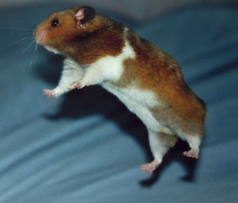 flying hamster 2