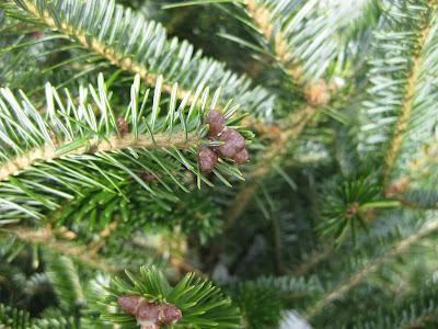 Real Christmas Trees