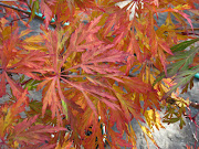 . top fall foliage pick in the nursery right now is 'Green Cascade' .