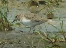 Temminck&#39;s Stint, Long Nanny, May 2010