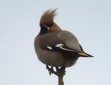 Waxwing, Tin Church, November 2008