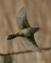 Wryneck, Newton Pool, May 2007