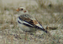 Snow Bunting, Long Nanny, February 2009