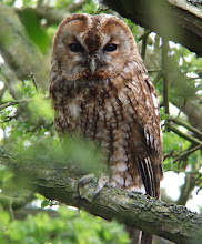 Tawny Owl, Low Newton, April 2009