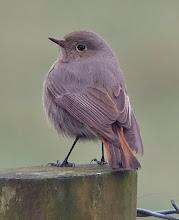 Black Redstart, Low Newton, March 2010