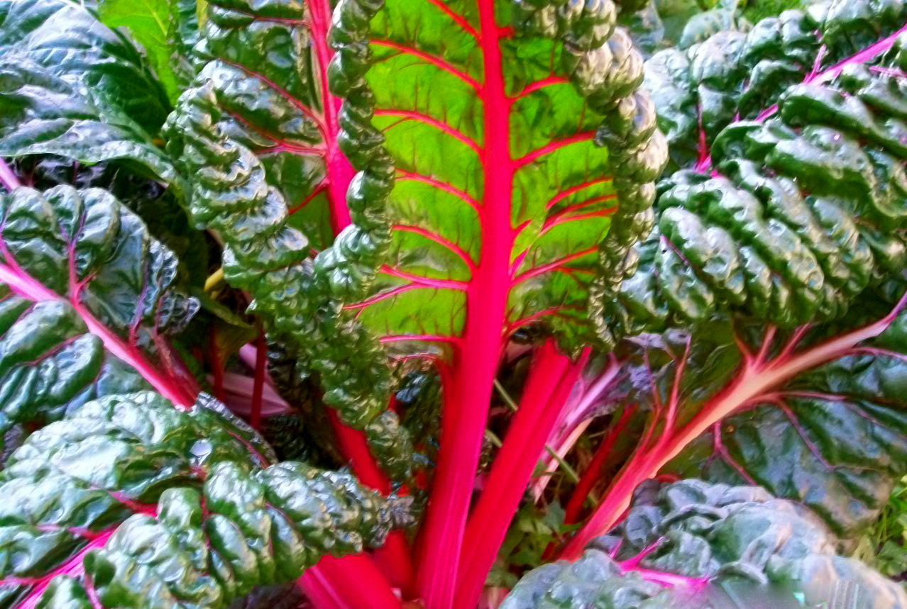how to choose swiss chard