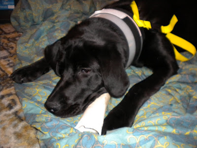 Dagan with his bone on his bed wearing his bite-not collar that keeps him from licking his neuter incision